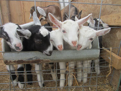 Baby goats at Sunset Acres Farm