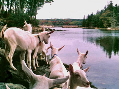 Goats along the Bagaduce River